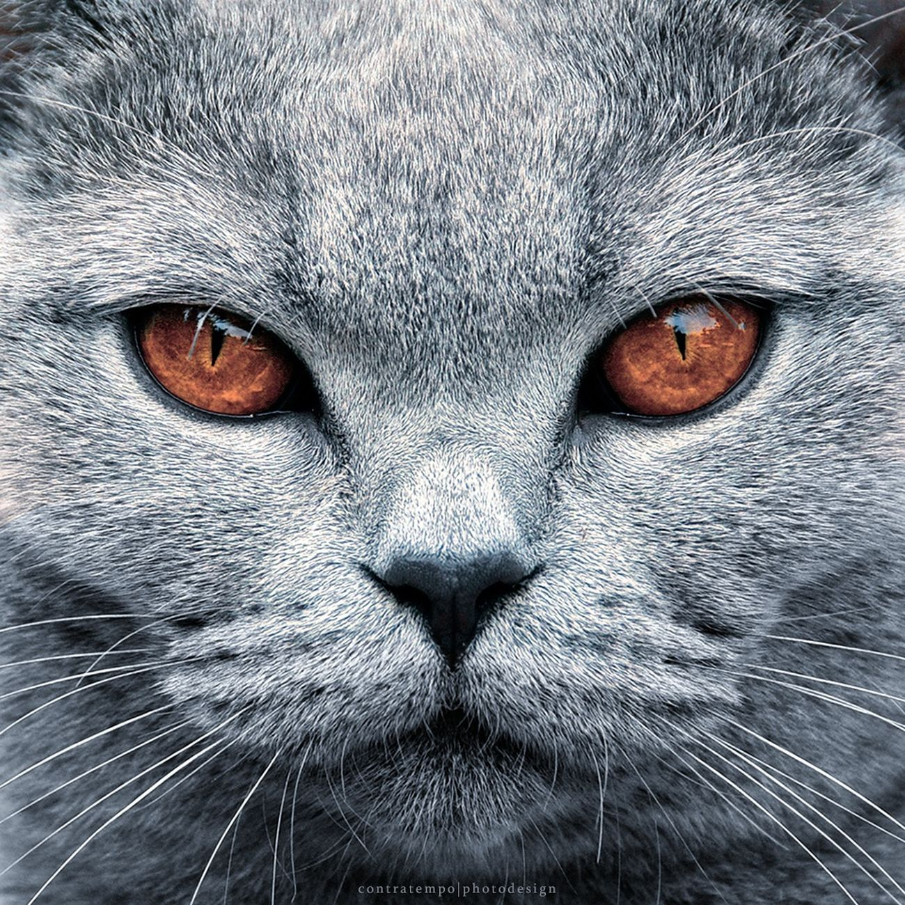 """""""Priscilla"""" Cat Domestic Cat One Animal Looking At Camera Domestic AnimalsCats Cat Eyes Catportrait Cateyes Cat"""