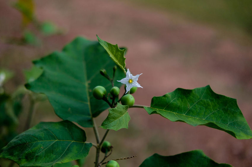 Beauty In Nature Close-up Day Focus On Foreground Freshness Green Color Growth Leaf Nature No People Outdoors Pea Eggplant Plant Vegetation