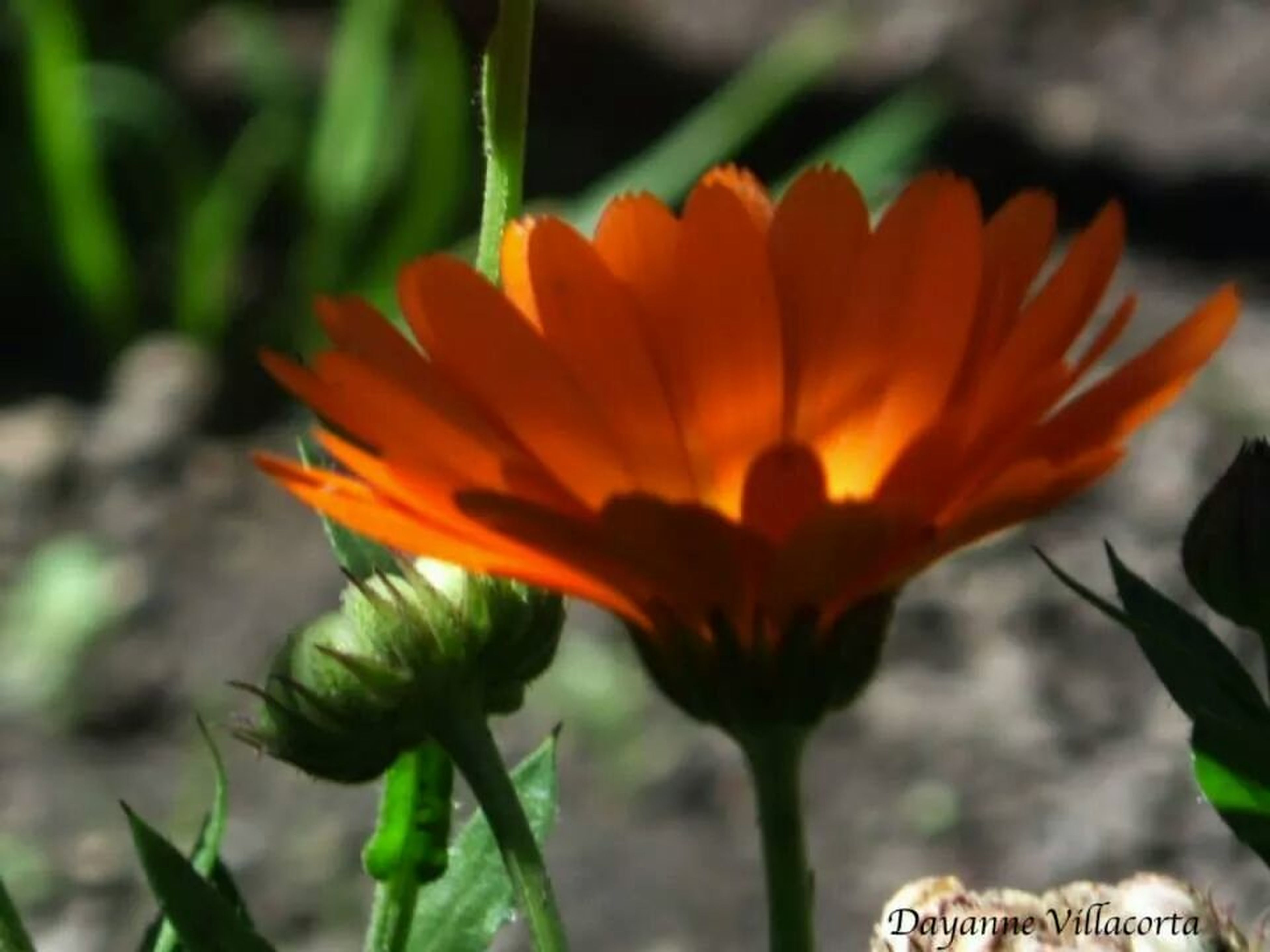 flower, petal, freshness, flower head, growth, fragility, focus on foreground, close-up, plant, orange color, beauty in nature, blooming, nature, stem, leaf, in bloom, selective focus, park - man made space, bud, outdoors