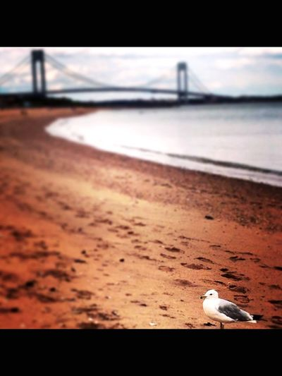 Midland Beach, Staten Island, NY Verazzano Bridge Bridge Beach Sand Sea Water Nature Bird No People Seagull Outdoors One Animal Animals In The Wild Animal Themes Day Sky Close-up