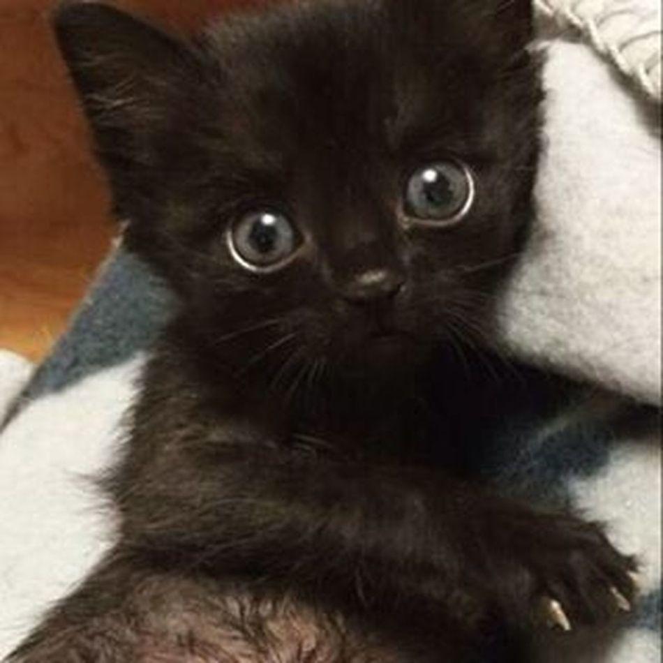 My sweet baby Instakitten Kittens Kittensofinstagram Bestcats_oftheworld Bestmeow Meowbox Topcatphoto Instacat BlueEyes Excellentcats Catlovers Catofinstagram Lovecats Like4like Gatos Meow_beauties