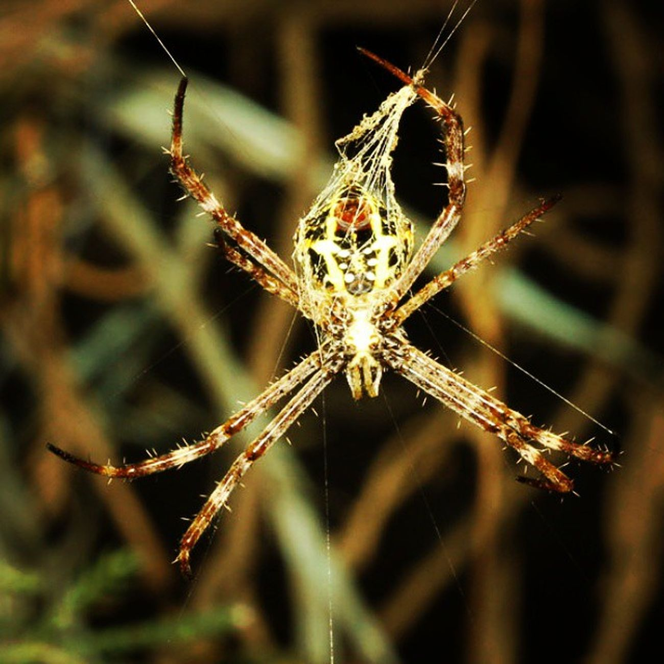 Bikin rumah dulu... Spider Spiderworld Spiderweb Ig_spiders ig_spider labalaba insect insects insect_perfection insectslover tgif_macro tgif_insects alalamiya_macro