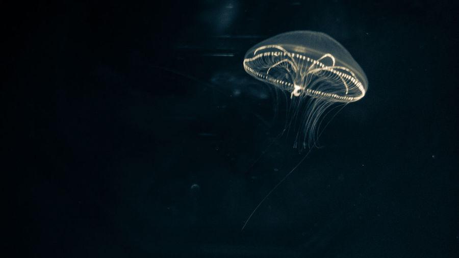 Sasebo 海キララ Jerryfish