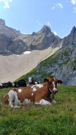 Dog Simmental Lenk Berner Oberland Schweiz 🇨🇭, Switzerland Alps Beauty In Nature Outdoors Nature No People