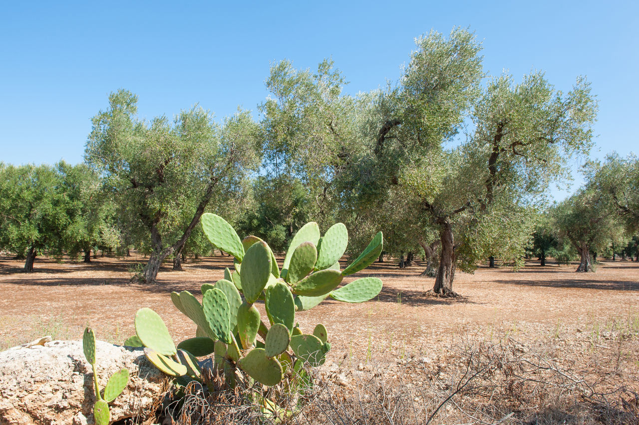 Typical mediterranean landscape with olive trees Agriculture Clear Sky Cultivated Land Day Field Growth Landscape Mediterranean  Nature No People Olive Trees Outdoors Plant Scenics Sky Social Issues Sunny Tree Typical