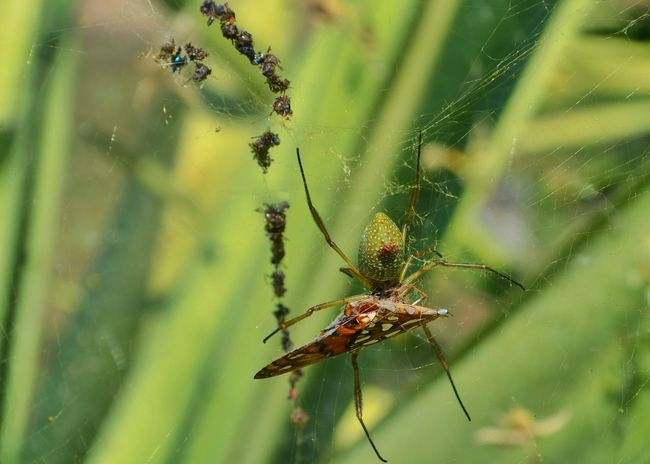 Animal Wildlife Arachnid Arthropod Beauty In Nature Close-up Day Focus On Foreground Fragility Grass Green Color Growth Insect Nature No People Outdoors Plant Selective Focus Spider Twig Web