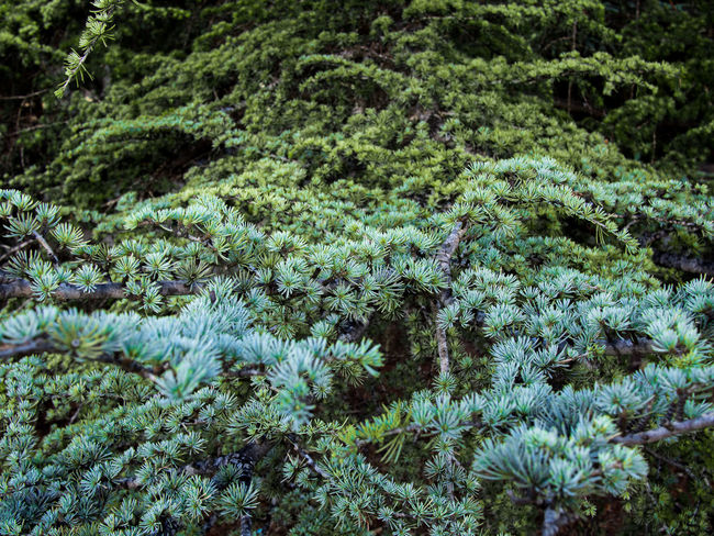 Beauty In Nature Botany Branch Cedar Cedrus Crimea Day Green Green Color Nature Needle Outdoors Plant Sevastopol