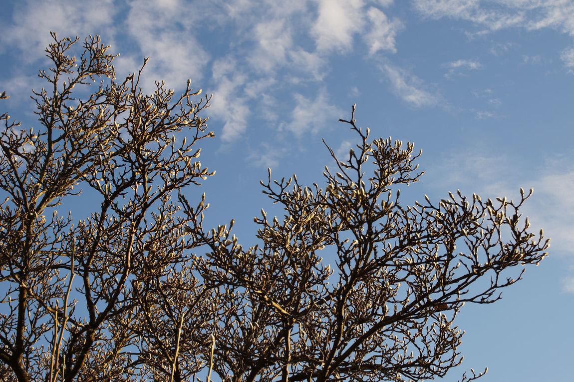 A magnolia tree Growth Autumn Light Magnolia Magnolia Tree Nature Nature Photography Spring Tree Tree Buds