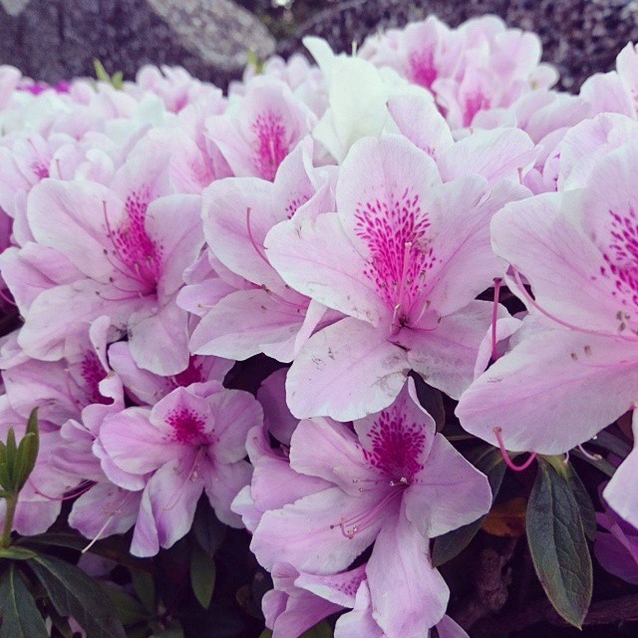 杜鵑花 Flower Blooming Beautiful Pink 開花
