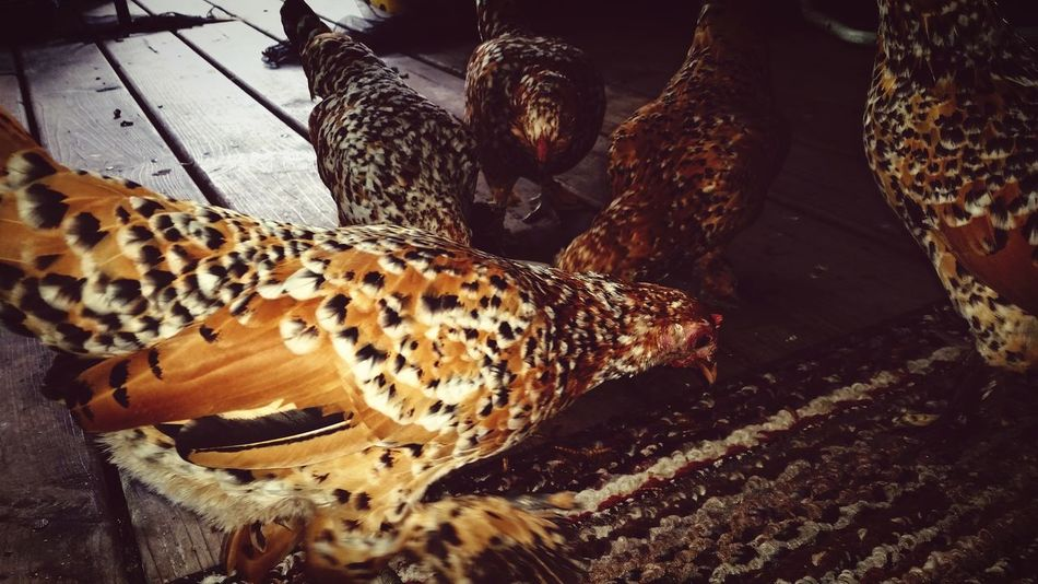 Pet Chickens Chickens >.< My Pet Chickens Pet Photography  Hello World Countrylife Hanging Out Enjoying Life Hen