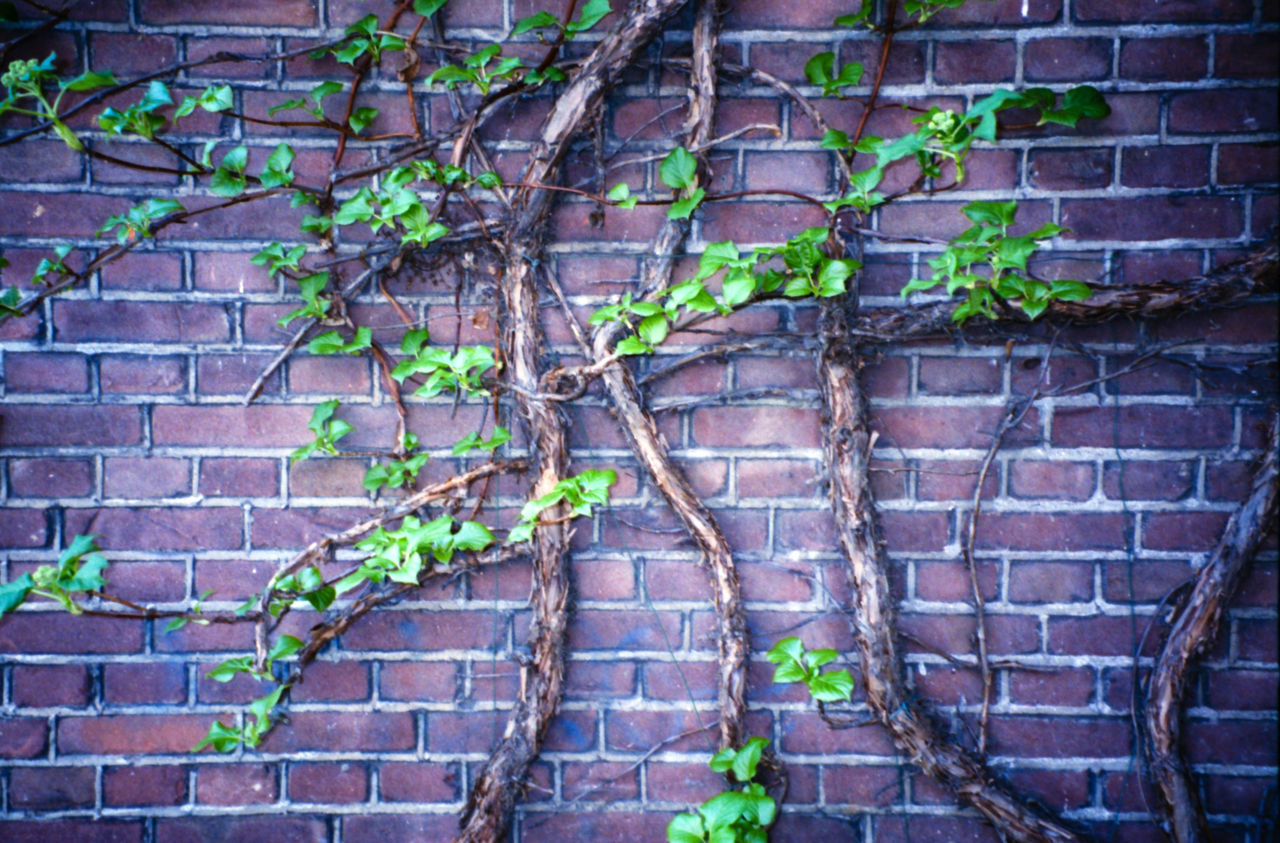 Brick and ivy Amsterdam Architecture Brick Wall Building Exterior Built Structure Close-up Day Film Green Green Color Holland Holland❤ Ivy Leaf Nature Netherlands Netherlands ❤ No People Outdoors Plant Wall - Building Feature