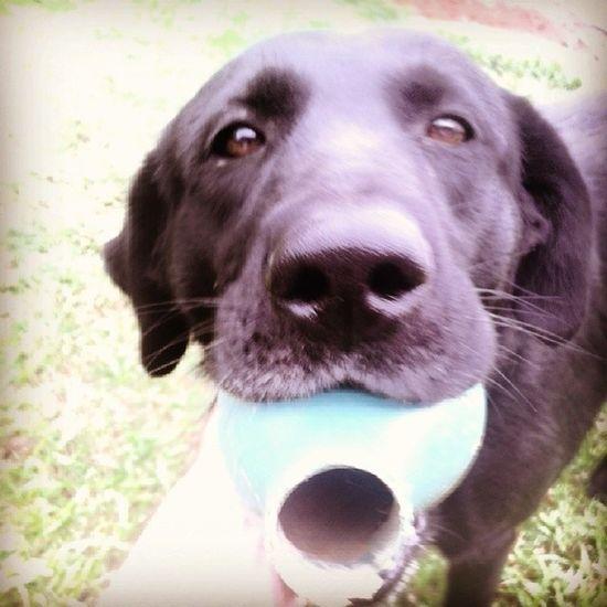 Comi o regador Labrador LabradorRetriever Aprontando Brincando