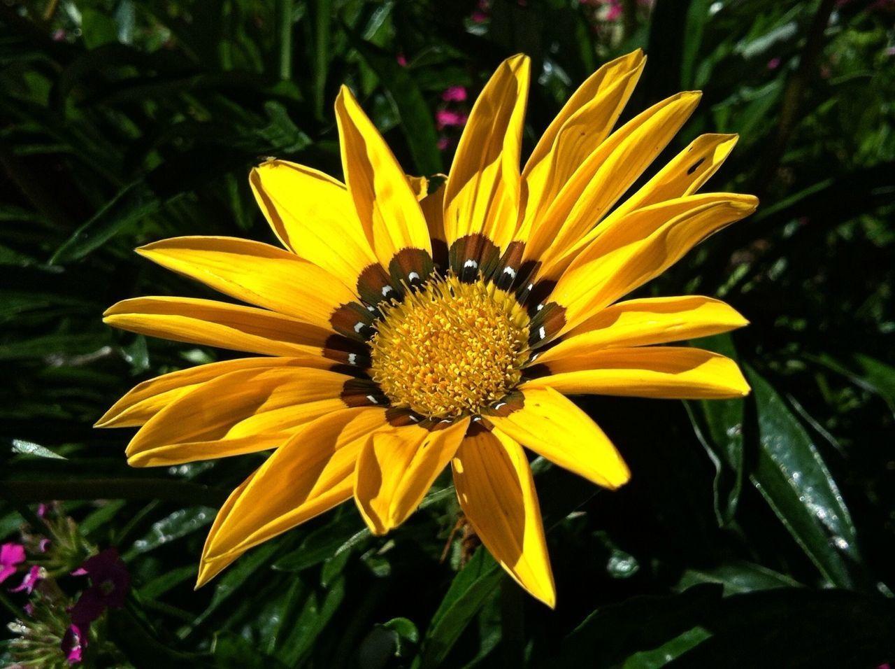 Planten Un Blomen Yellow Flower Sunlight Flower Head Nature_collection Flowerpower Flowerporn EyeEm Best Shots IPhoneography Jopesfotos - Nature