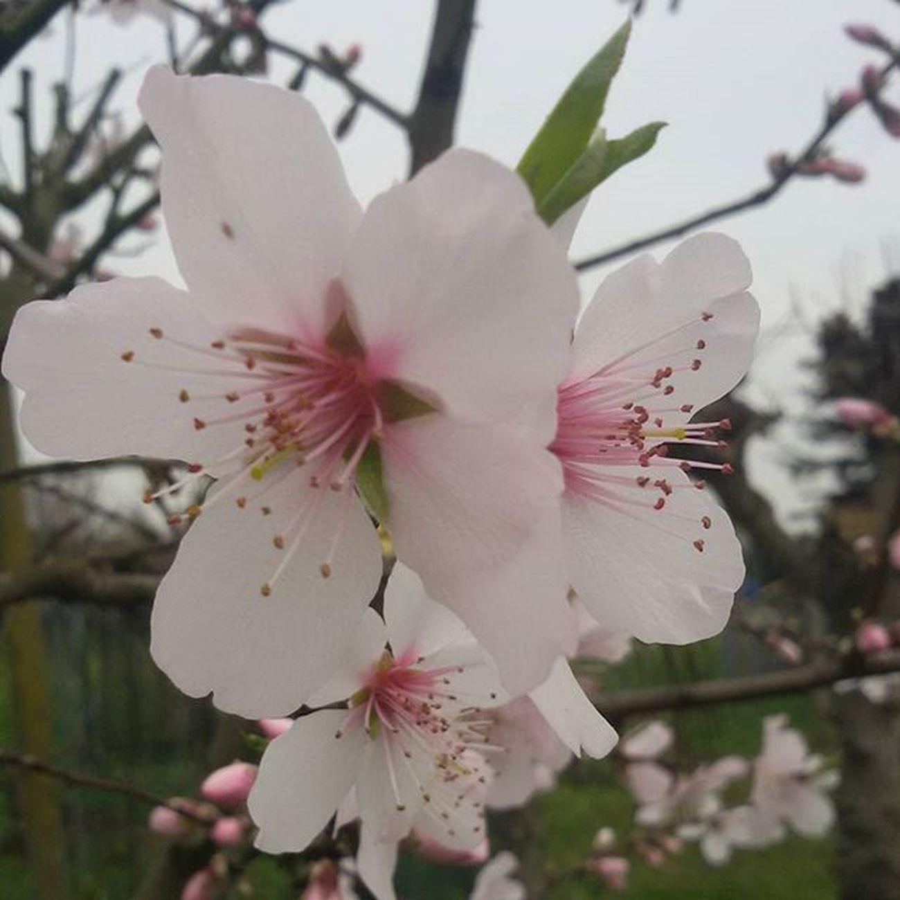 Mandorlo Fioredimandorlo Fiore Flower Flowers Fiori Mandorlo Mandorle Primavera Primavera2016 Spring2016 Spring Marzo March