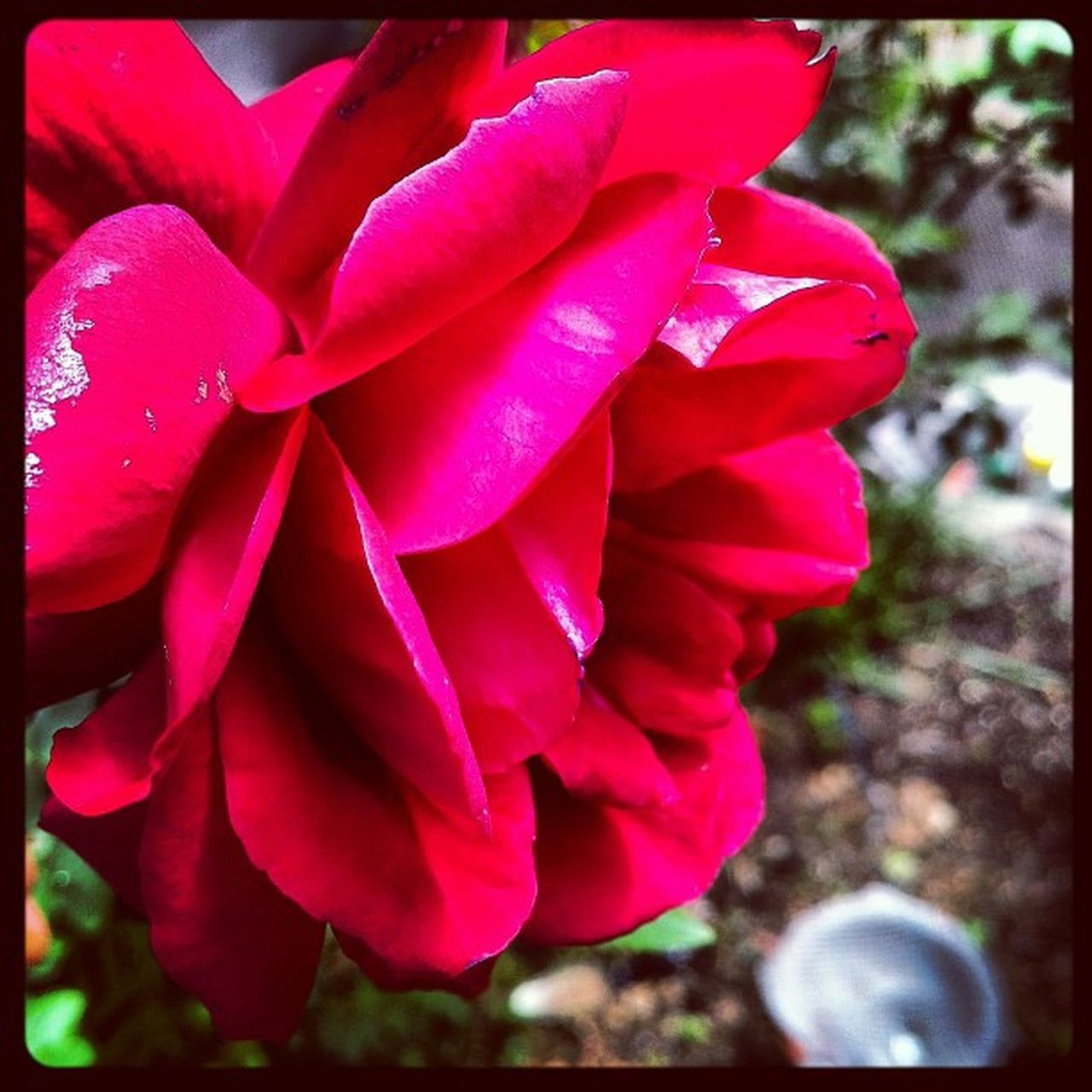 Rose Genova Fromthestreets Iphonephoto Instaily flowers spring