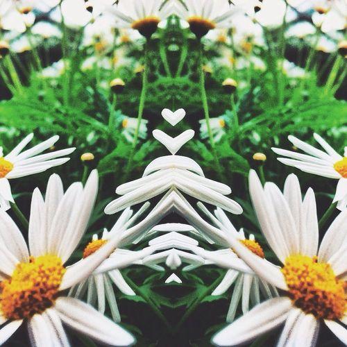 Chamomile🌱. Nature Mirror Taking Photos Flowers