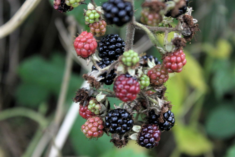 Berries Berries On A Branch Beauty In Nature Berry Fruit Blackberry Close-up Day Focus On Foreground Food Freshness Fruit Growing Growth Healthy Eating Nature No People Outdoors Plant Purple Plant Red Tree