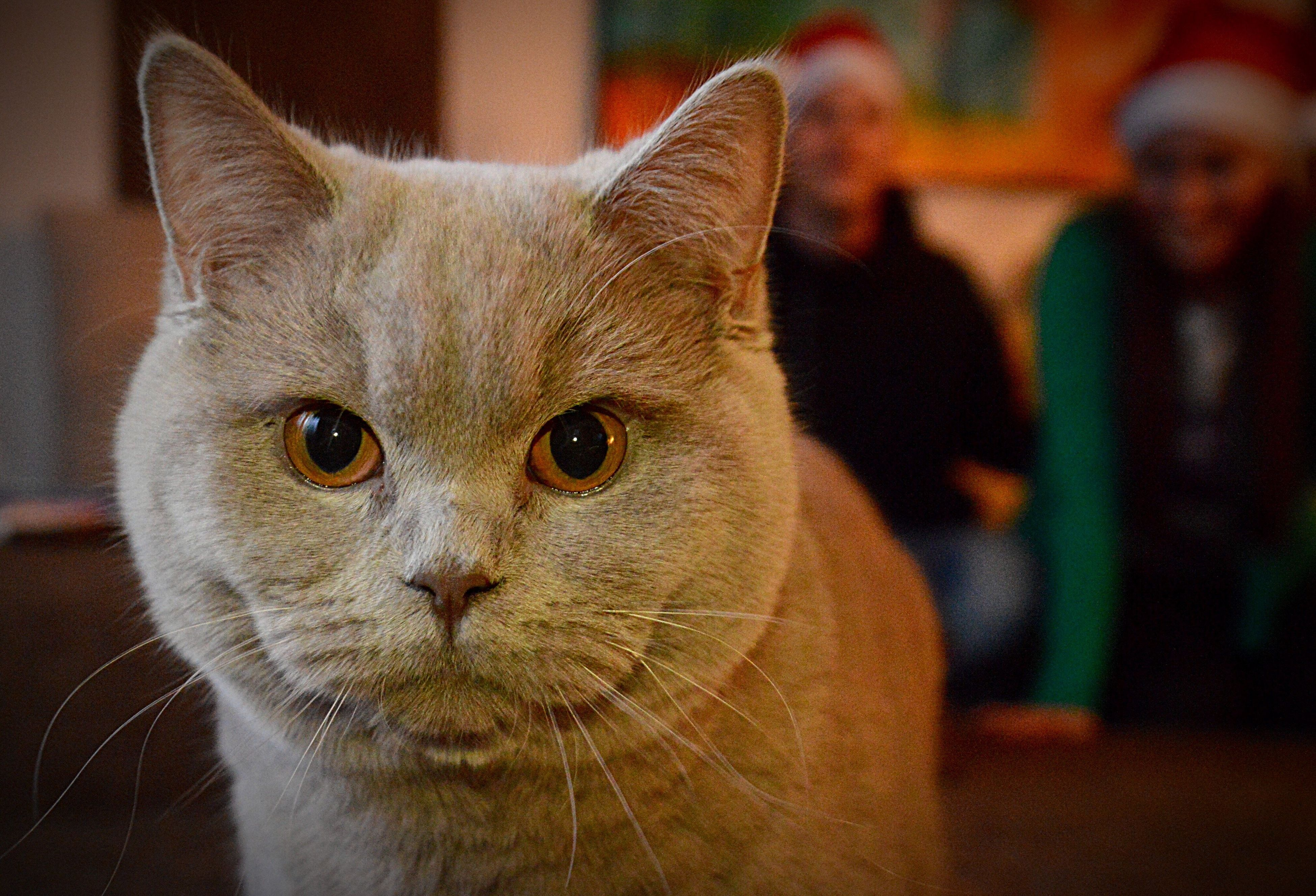 one animal, pets, domestic animals, domestic cat, animal themes, focus on foreground, looking at camera, mammal, feline, portrait, close-up, yellow eyes, no people, indoors, day