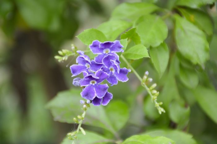 Golden Dew Drop Pigeon Berry Tree Beauty In Nature Bloom Blooming Blossom Close-up Day Duranta Duranta Repens Flower Flower Head Fragility Freshness Green Color Growth Nature No People Outdoors Petal Plant Purple