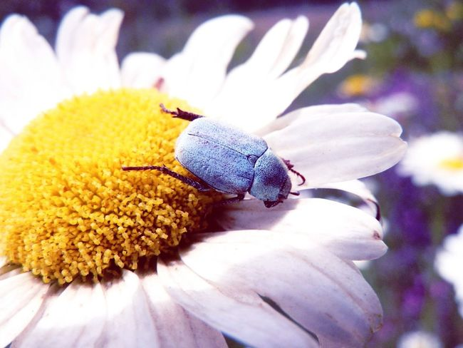 Insect Insect Photography Insect Macro  Insects Collection Flowers Daisy Daisy Flower Blue Bug Bug Bug On A Flower Bug On Flower Nature Nature_collection Nature Photography Naturelovers Nature On Your Doorstep Nature's Diversities Colour Of Life Eyeemphoto TakeoverContrast