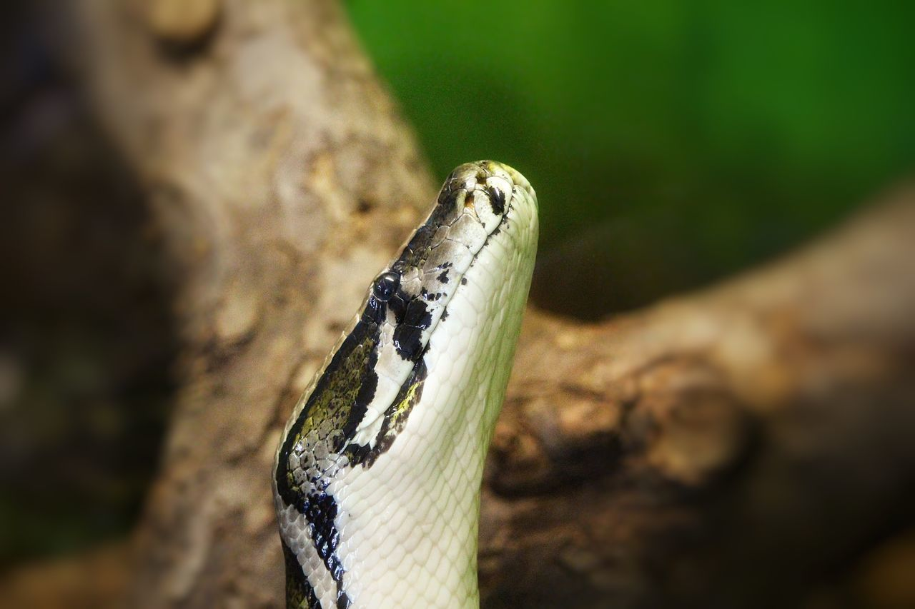 animal One Animal Reptile Animal Themes No People Animal Animal Head  Animals Animal Photography Snake Reptile Schlange  Schlangen Animal_collection