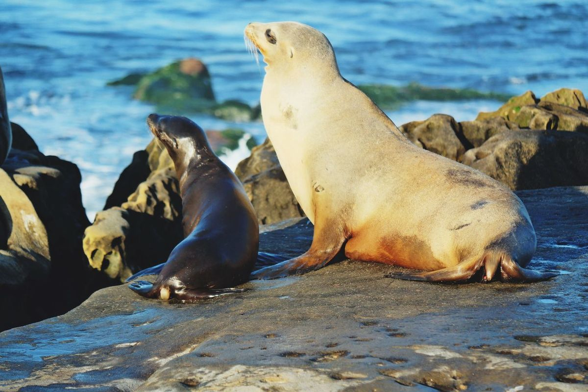 Seals Animals In The Wild Rock - Object Animal Wildlife Sea Mammal Animal Themes Seal Aquatic Mammal Nature Seal - Animal No People Water Sea Life Outdoors Beach Close-up Perspectives On Nature