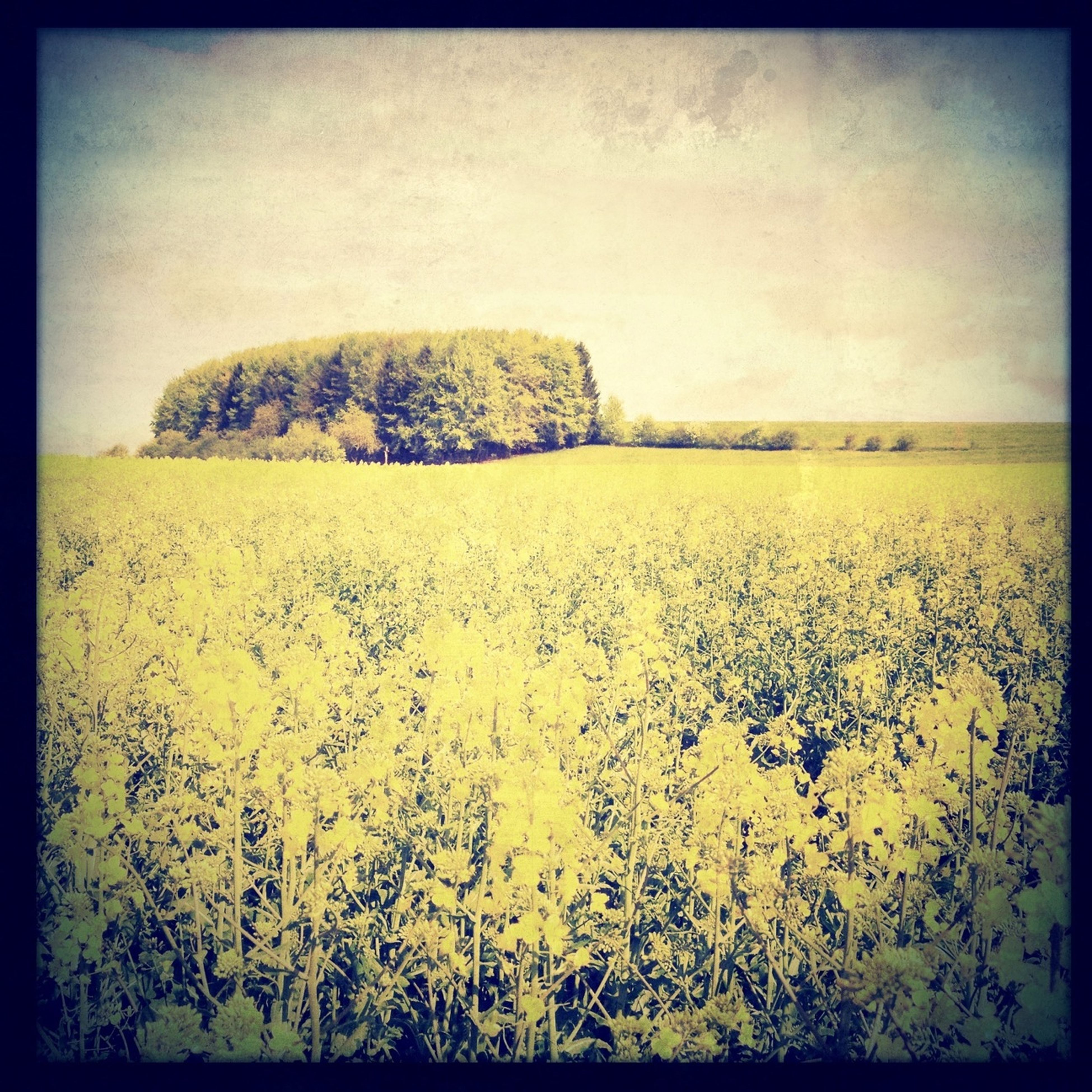 transfer print, yellow, auto post production filter, growth, nature, tranquility, tranquil scene, beauty in nature, tree, field, plant, scenics, flower, landscape, sky, outdoors, clear sky, no people, day, copy space