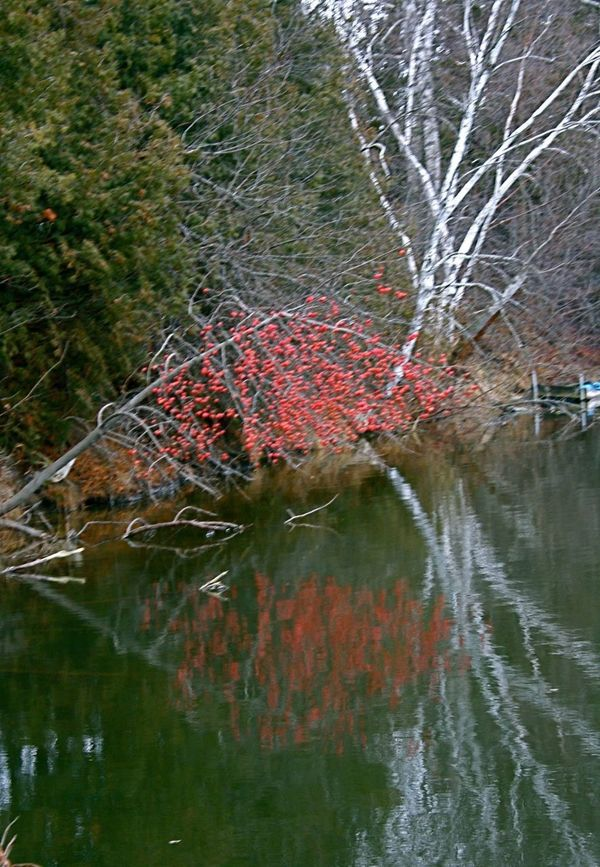 Apple tree with red apples reflected on water Apple Tree Growth Nature Outdoors Red Apples Reflection On Water Remote River