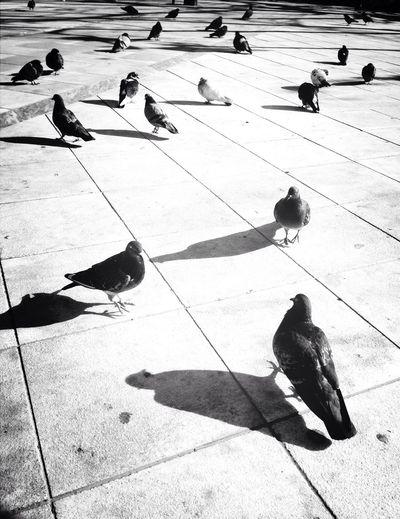 Crowd Pigeons Enjoying The Sun Black And White