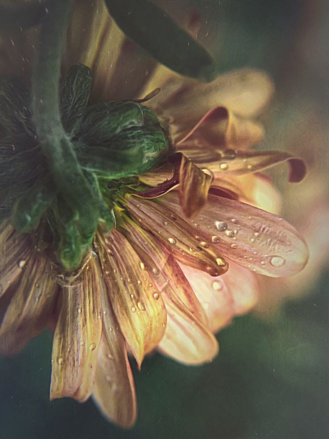 .i need to. breathe you. Close-up No People Nature Freshness Outdoors Day Shootermag_usa Water Beauty In Nature Nature Flower Mobilephotography Shootermag Fine Art Photography Drop Fragility Flower Head Pink Color Dew Nature_collection Macro