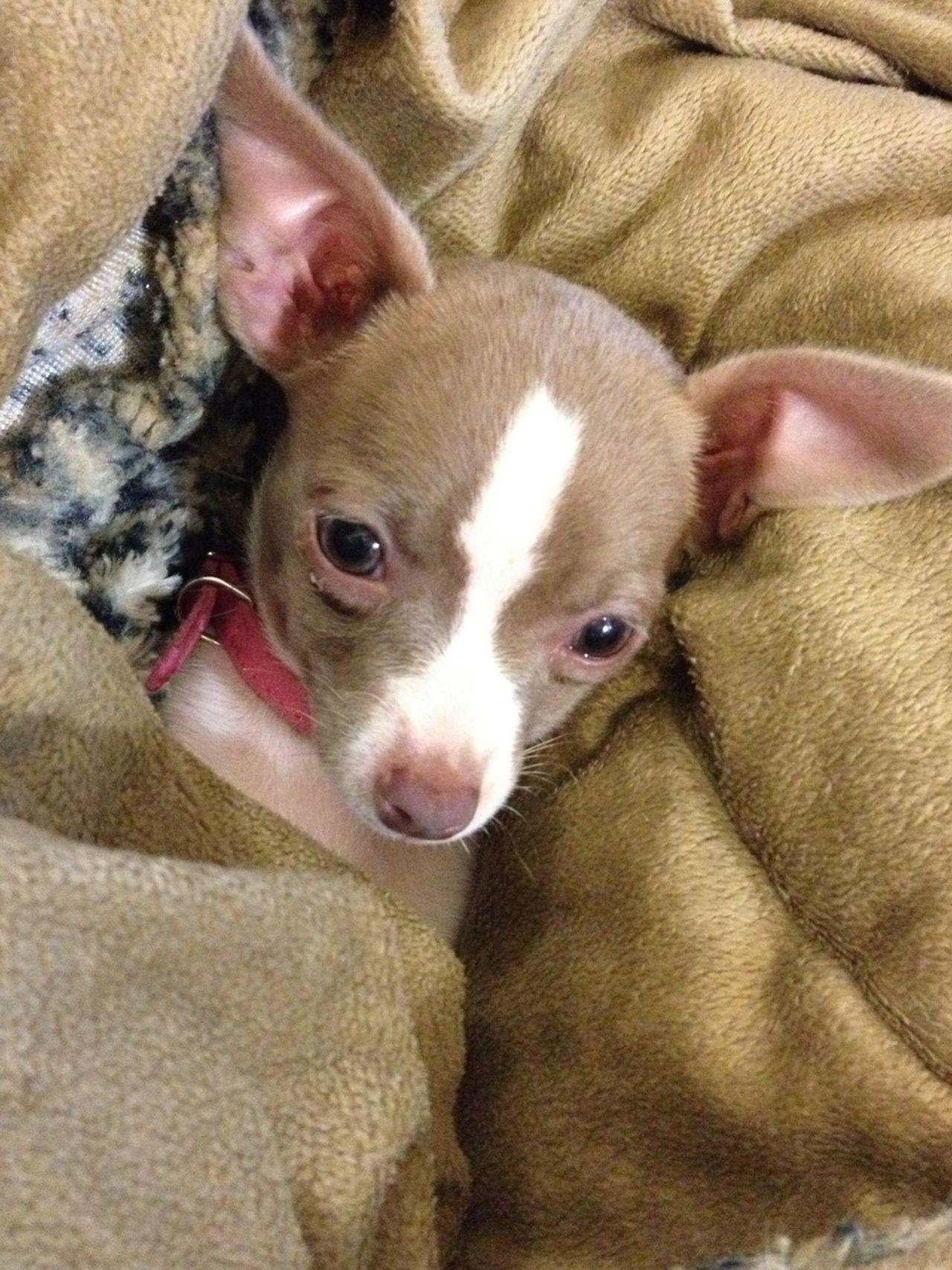 Beautiful stock photos of chihuahua, Animal Themes, Bedsheet, Chihuahua - Dog, Comfortable