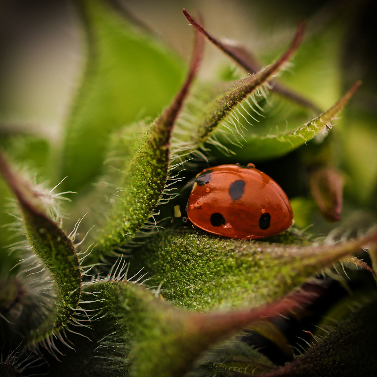 Lady bug nestled in spiky leaves Animals In The Wild Beetle England, UK Green Green Color Hairy  Insect Lady Bird🐞 Ladybug Leaf Nature No People One Animal Outdoors Spiky Spotted
