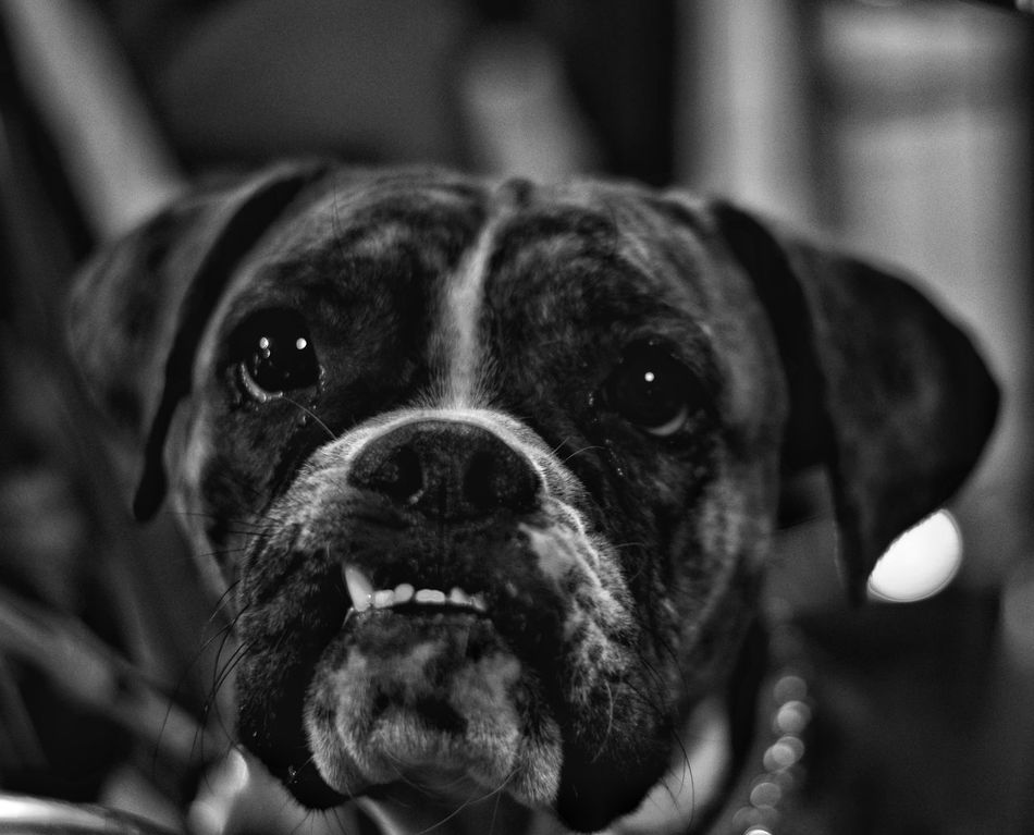 Pets Dog Mammal Animal Themes Domestic Animals One Animal Close-up Indoors  No People Day Eyeemphotography Black And White Collection  Blackandwhite EyeEm Gallery Portrait MonochromePhotography Texas Photographer Black&white Black And White Collection! Black Doglife Dog Of The Day Dog Photography