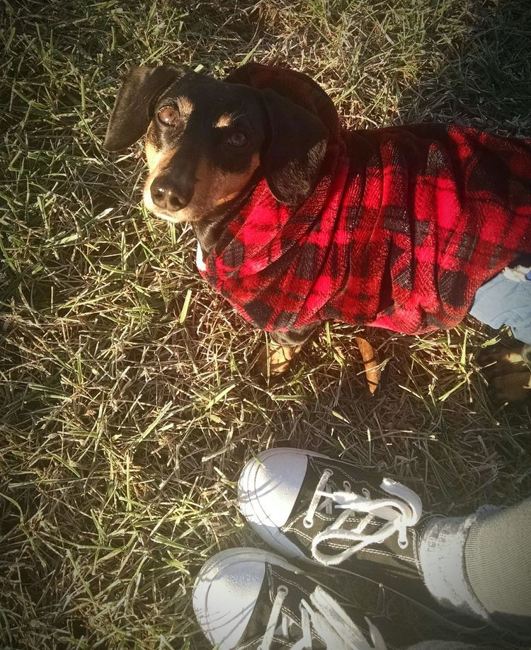 Animal Themes Domestic Animals Pets Dog Outdoors Abagail <3 Doxie Moxie Dog❤ I love her~