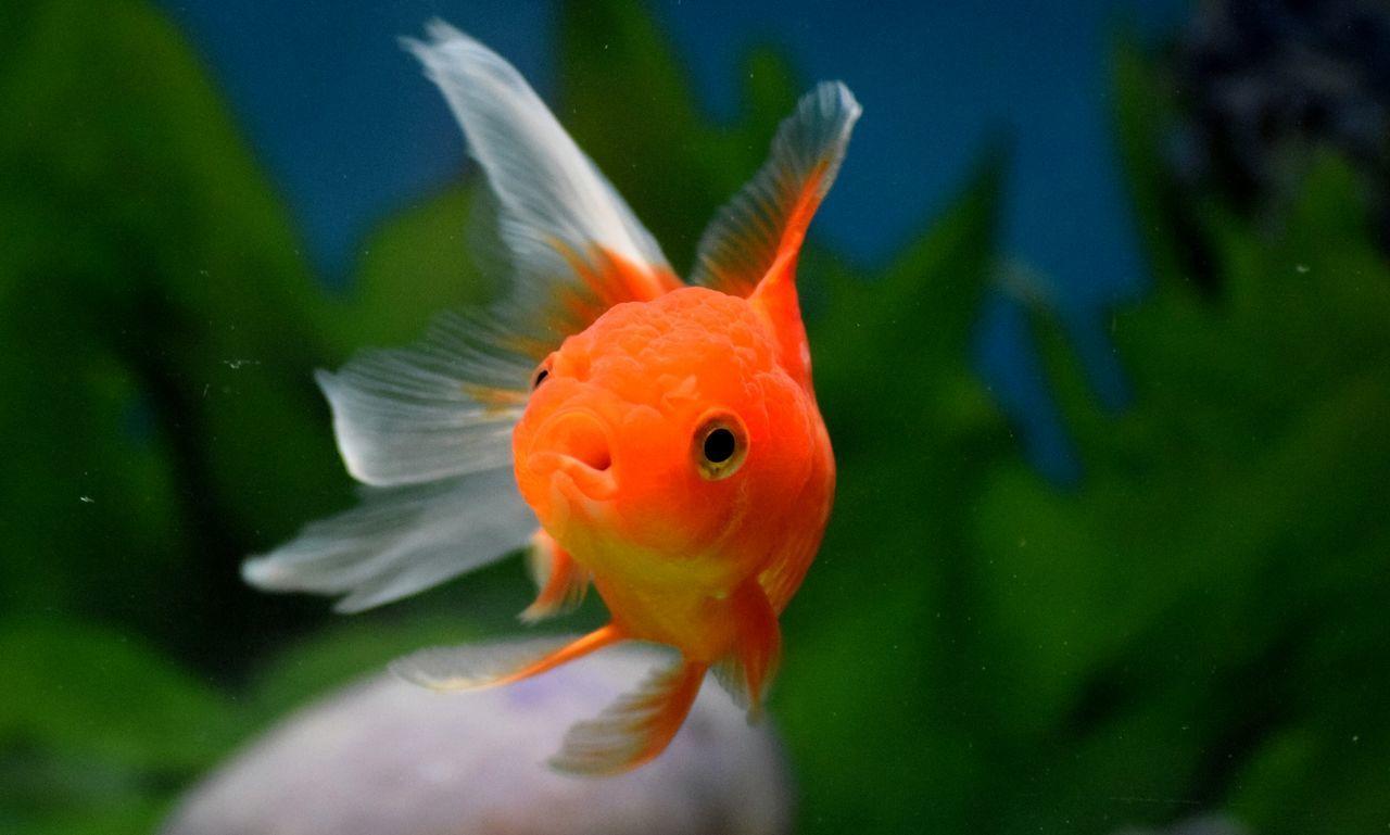 Goldfish Fish Swimming Goldfish Underwater Tail Fin Aquarium Goldfishes EyeEm EyeEm Best Shots Hellow World Goldfish In Water Fantail Orandagoldfish Goldfish Tank Aquarium Fish Aquariumlife HelloEyeEm Eyeemphotography EyeEm4photogtaphy EyeEm Gallery Eyeem Market Eyeem4photography EyeEm Nature Lover Animal Themes Goldfishtank