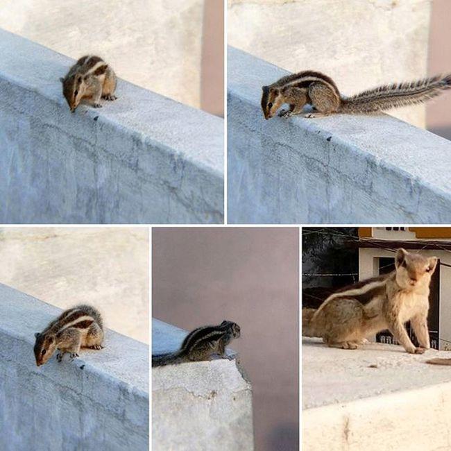 Say hi to MrSquirrel everybody 😄😄 Photoshoot Animalshots SquirrelPhotography Mobileshots Layots Squirrel Poses PhotogenicSQUIRREL Closeups MobilePhotographyKit TelesCopicLens Ig_official_clicks Ig_shots Igers_wanderlust Animal_If Indianshutterbugs EveryDayClicks Everyday_India AffectionateClicks