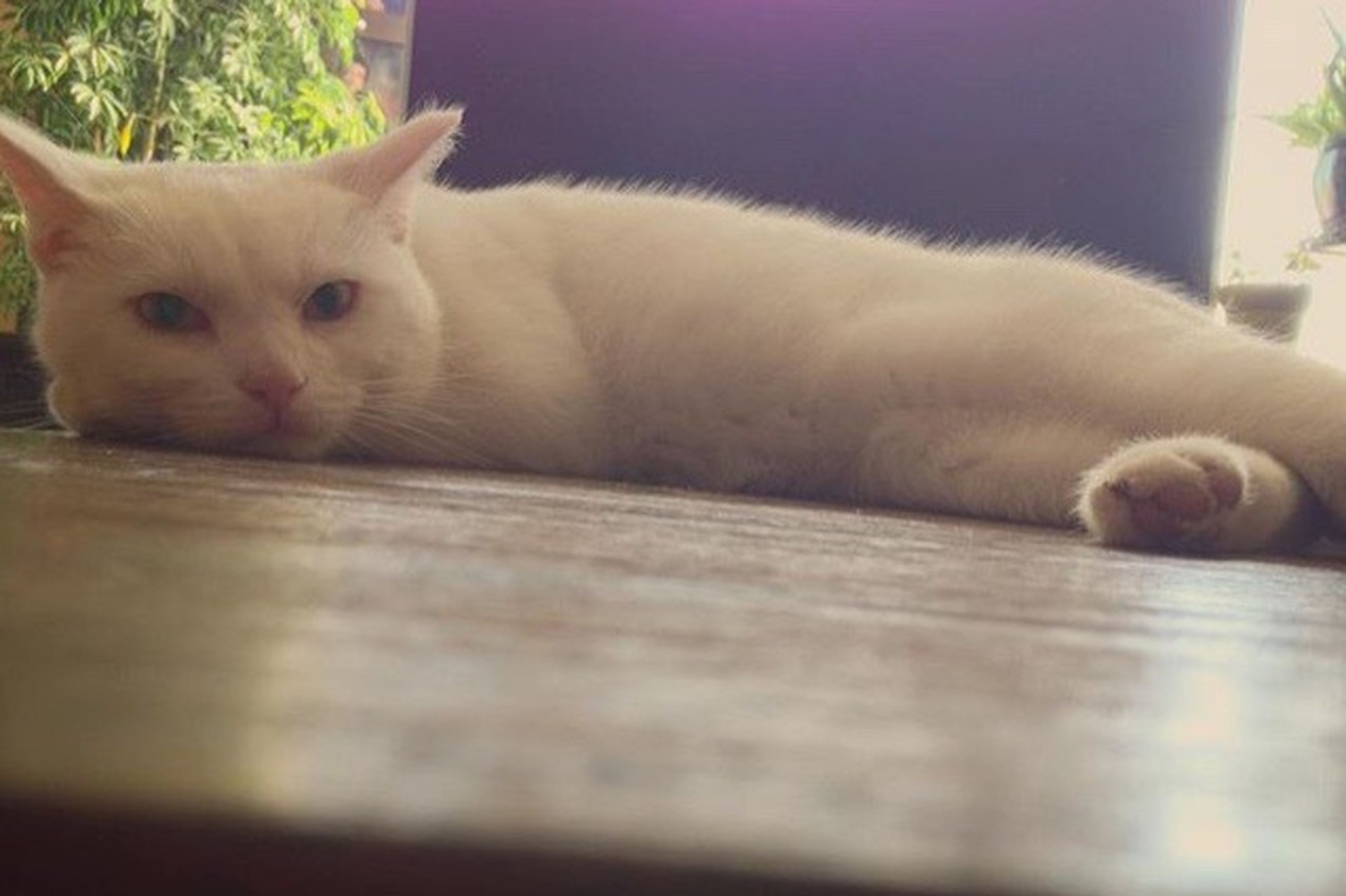 domestic cat, domestic animals, pets, one animal, animal themes, indoors, relaxation, home interior, mammal, close-up, no people, nature, day