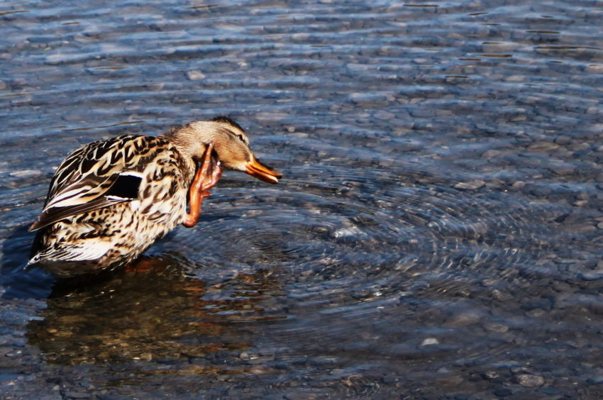 Südtirol Animal Themes Animal Wildlife Animals In The Wild April 2015 Bird Close-up Day Duck Italy Lake Nature No People One Animal Outdoors Scratching Vinschgauer Oberland Water Waterfront