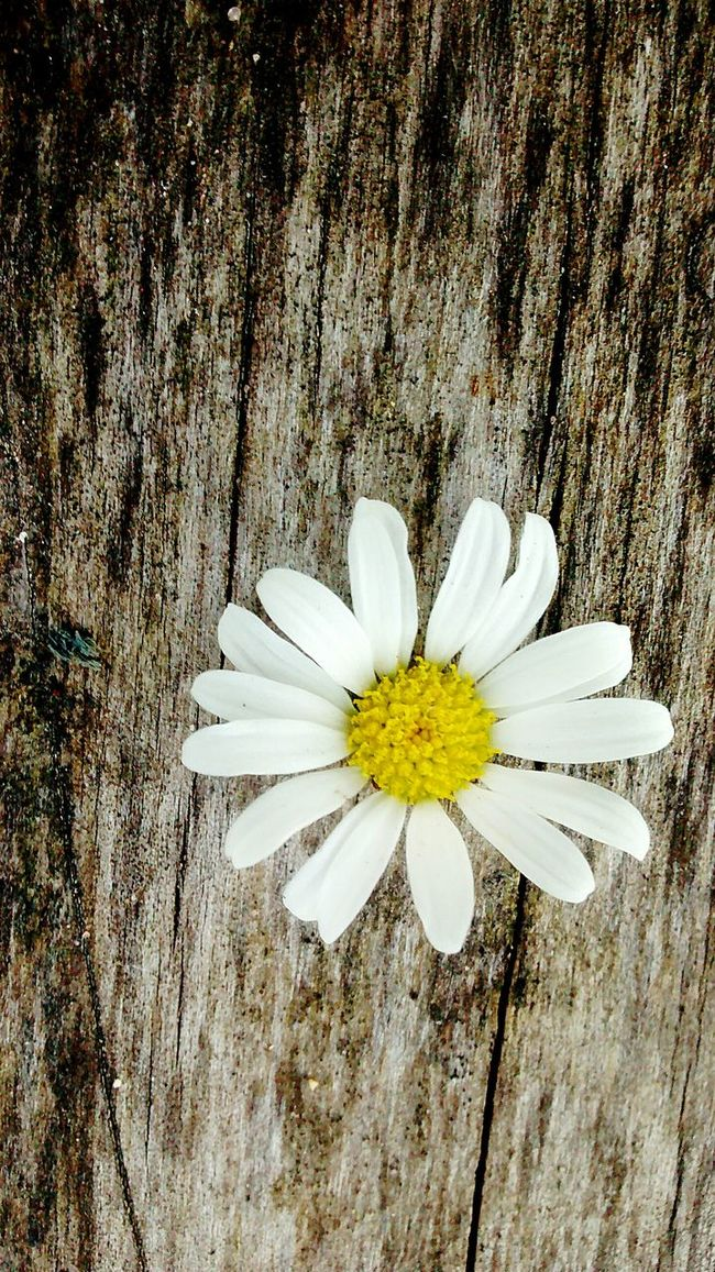 Daisy Flower Daisy Wood Wooden Yellow White Daisy Close Up Wooden Bench Faded Wood Pop Of Color Stand Out From The Crowd Stand Out