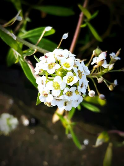 Alyssum Lobularia Flower White Color Blossom Nature Close-up Plant Fragility Day No People Beauty In Nature Petal Flower Head Outdoors Growth Freshness