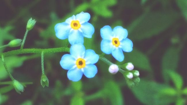 Closeup In Nature Forget Me Not Flowers, Nature And Beauty Little Things Beauty In Nature Closeup Natureporn Love To Take Photos ❤ Flower Collection