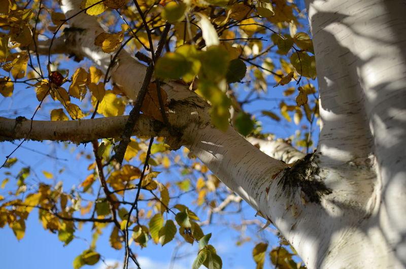 Autumn Autumn Collection Autumn Colors Autumn Leaves Autumn🍁🍁🍁 Birch Tree Blue Sky Branch Low Angle View Silver Birch Tree Tree Trunk White Bark
