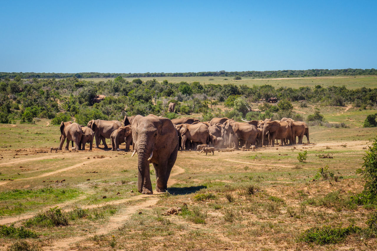 Elephant Herd On Landscape Against Clear Sky