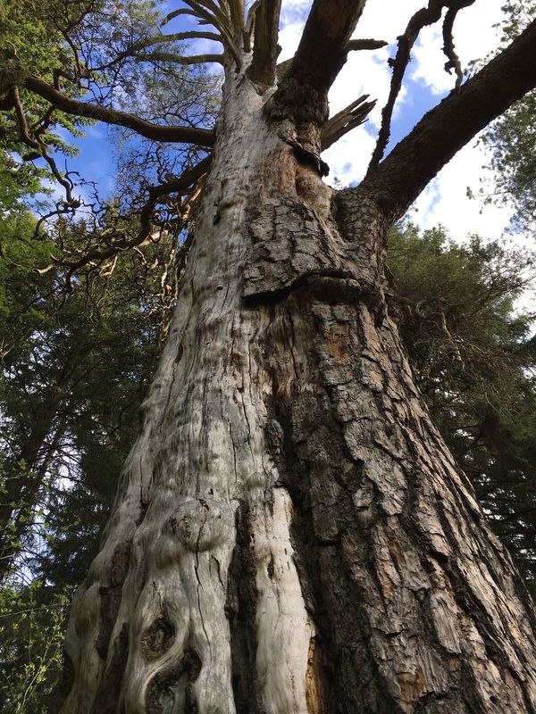 Tree Tree Trunk Low Angle View Nature Growth Bark Branch No People Day Outdoors Rough Beauty In Nature Textured  Sky Close-up Rope Swing