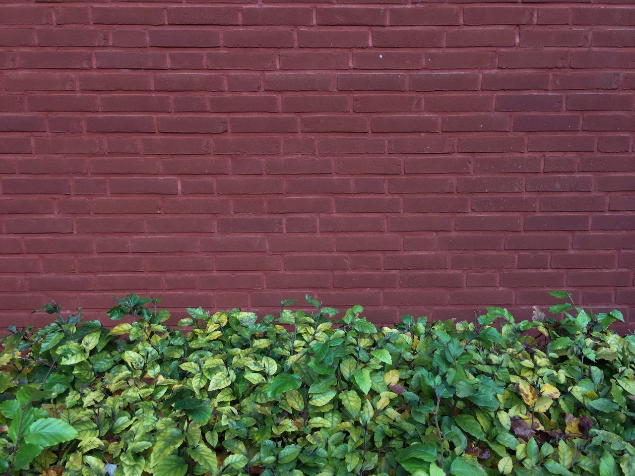 growth, brick wall, wall - building feature, plant, green color, leaf, ivy, built structure, no people, day, outdoors, architecture, nature, freshness, fragility, close-up