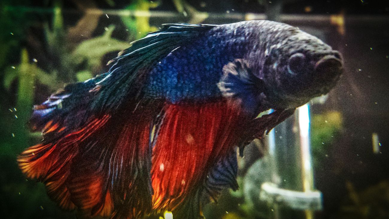 One Animal Animal Themes Domestic Animals Close-up Pets No People Betta Fish Bettafish Betta  Bettafishcommunity Fish