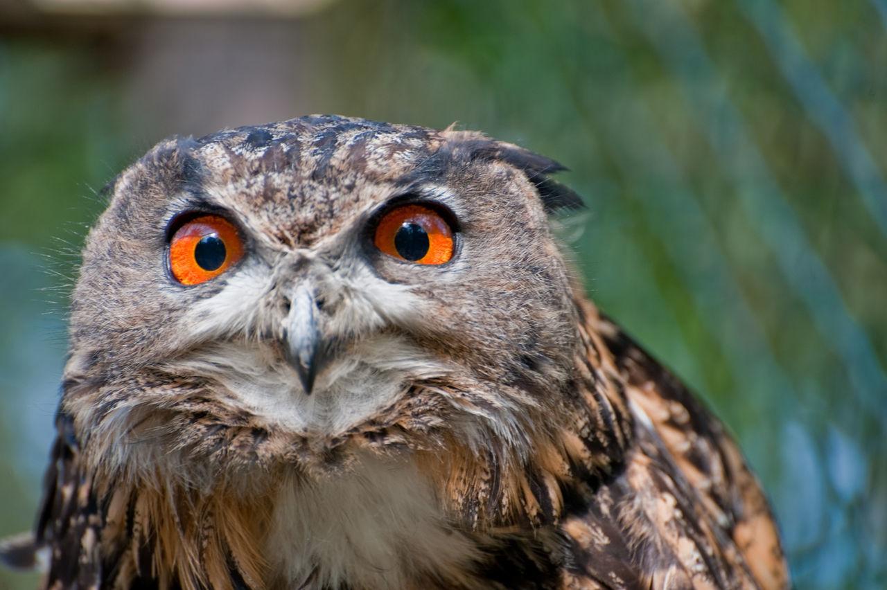 Beautiful stock photos of owl, , Animal, Attentive, Beak