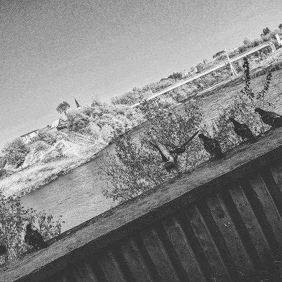 набережныечелны татарстан голуби набережная зяб мост Кама полетели Чб чбфото Asuspadfones птицы Гули гулигули Inchelny