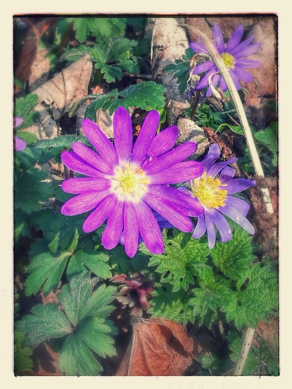 Flower Plant Fragility Nature Freshness Beauty In Nature Flower Head Growth Petal Purple Leaf Outdoors No People Blooming Day Close-up Purple Flowers With Filters Huawei P9 Plus Photography Made By Noesie