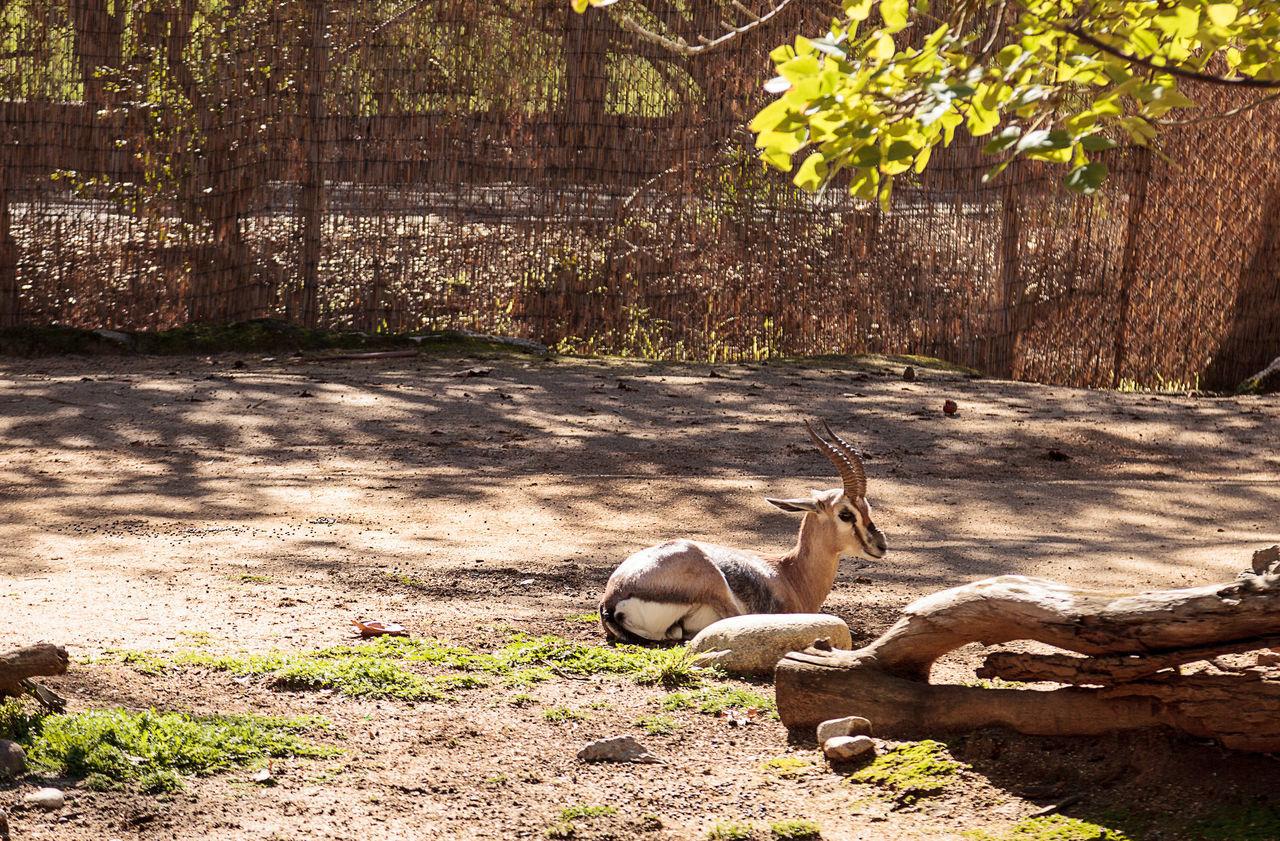 Speke's gazelle, Gazella spekei, is a small gazelle found on grasslands of Africa Africa Day Gazella Spekei Gazelle Nature No People Outdoors Speke's Gazelle Sunlight Tree Wild Animal Wildlife